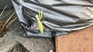 Mantis at eco roof installation site